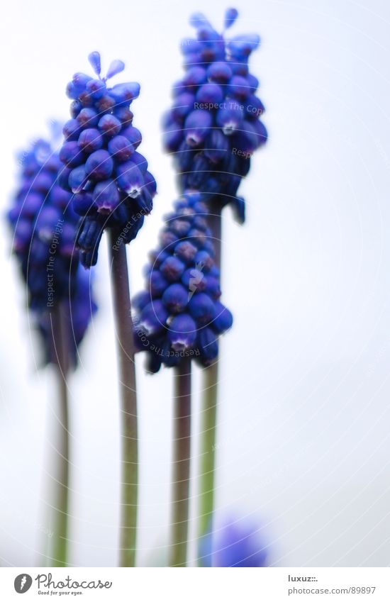 So riecht Frühling I Stengel Blume Hoffnung Blüte Blühend Reifezeit Traubenhyazinthe Biene Staubfäden März violett Pflanze springen schön Pollen flower Glück