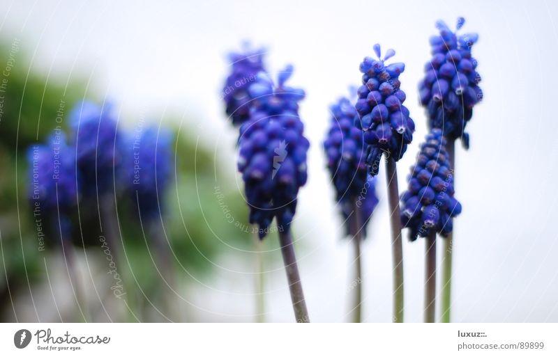 So riecht Frühling II Stengel Blume Hoffnung Blüte Blühend Reifezeit Traubenhyazinthe Biene Staubfäden März violett Pflanze springen Garten Park Pollen flower