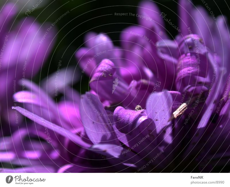 Blüte violett Pflanze