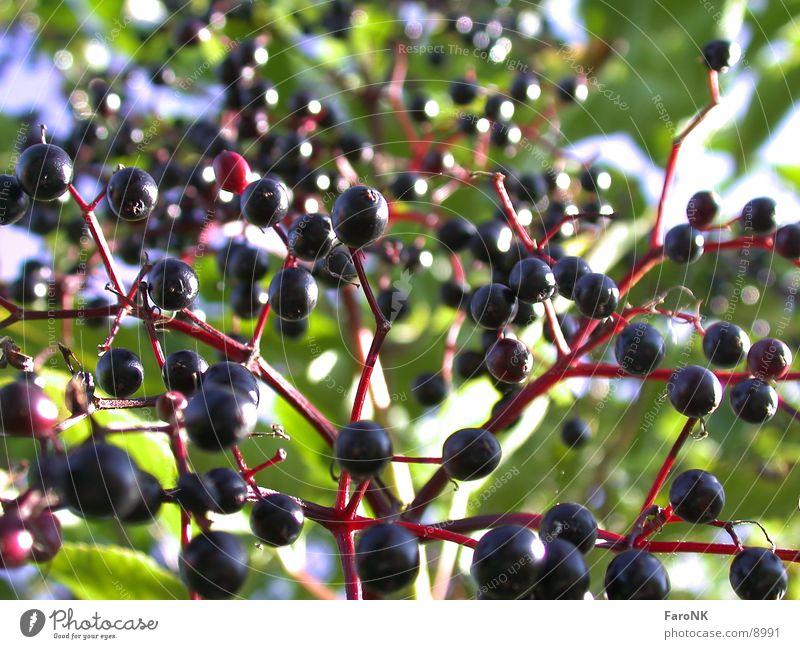 Holunder Holunderbusch Baum Beeren