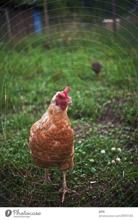 stereotypisches hühnerfoto Natur Pflanze Tier Wiese Gras natürlich Nutztier Haushuhn Stall