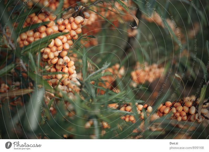 Sanddorn Natur Pflanze Sträucher Wildpflanze Gesundheit grün orange Beeren Frucht vitaminreich sauer reif Farbfoto Nahaufnahme Detailaufnahme Menschenleer