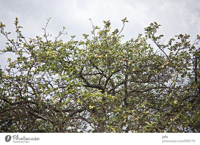 apfelbaum Himmel Natur Pflanze Baum Umwelt natürlich Gesundheit Garten Lebensmittel Apfel Nutzpflanze Apfelbaum