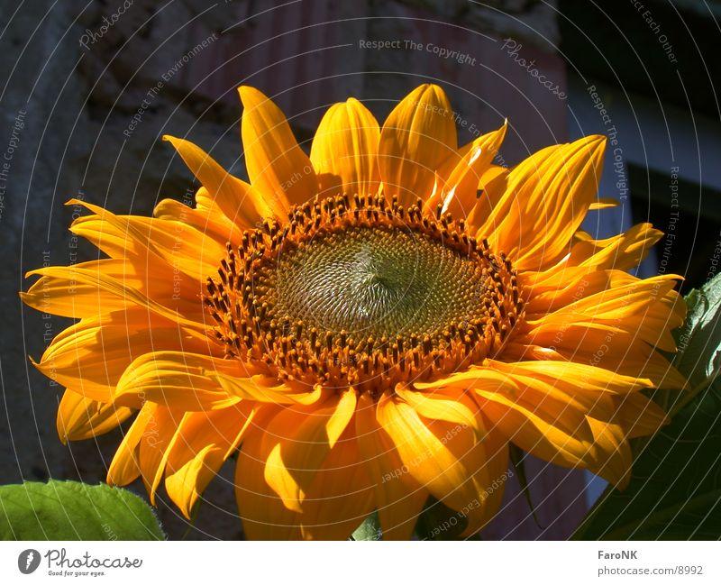 Sonnenblume Pflanze gelb Blüte