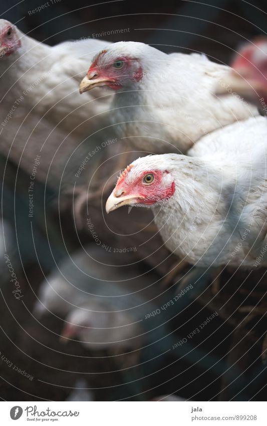 hühner Tier natürlich trist sitzen Tiergruppe Tiergesicht Nutztier Hühnervögel Maschendrahtzaun