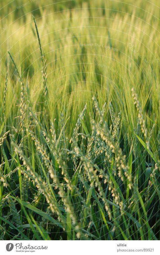 Unbewegt bewegt Gerste Feld Landwirtschaft Gras Sommer Feldfrüchte Ergebnis grün Ähren Ernte Kontrast