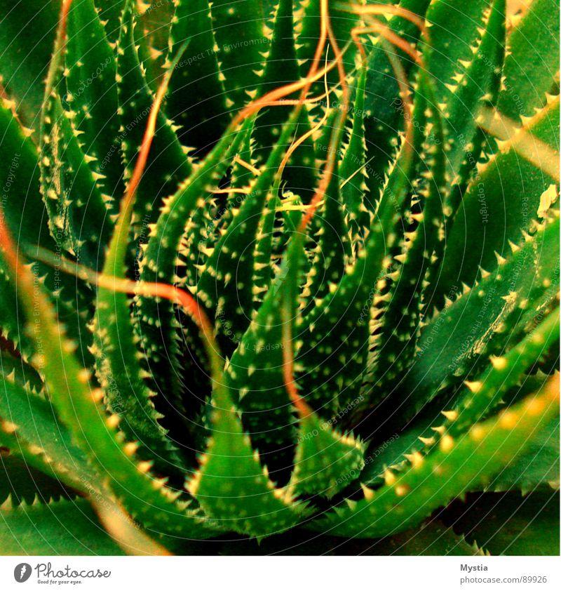 Dornen Ding Kaktus Pflanze grün Wachstum gedeihen verletzen Wüste Makroaufnahme Nahaufnahme gefährlich Natur