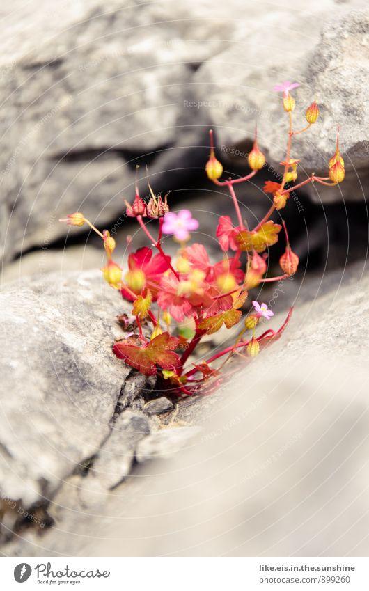 Irlands blumiger Burren Umwelt Natur Landschaft Steinwüste Republik Irland Blume Felsen steinig Farbfoto