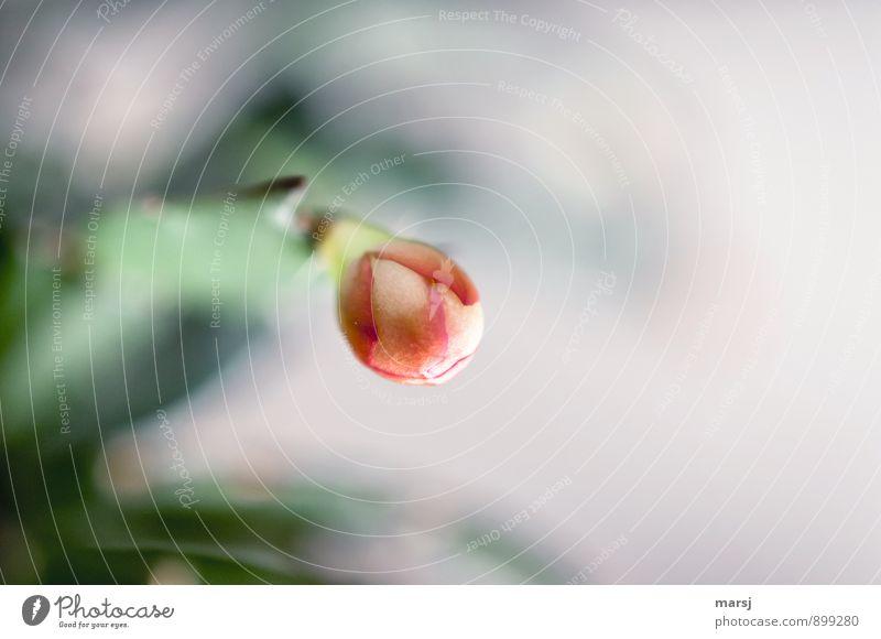 Geschlossen Natur Pflanze Blume Kaktus Blüte Topfpflanze Weihnachtskaktus Blütenknospen Blühend leuchten geschlossen Erwartung Farbfoto mehrfarbig Innenaufnahme