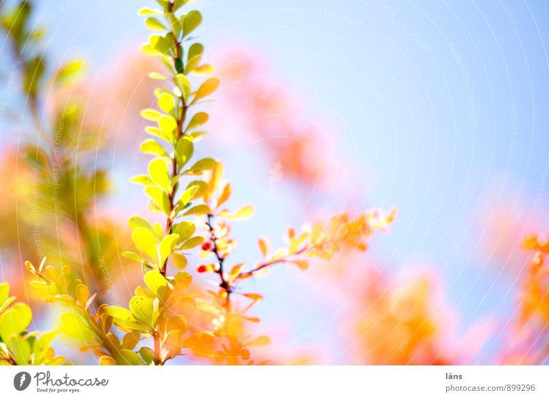 farbspiel Himmel Natur Pflanze Herbst hell leuchten Sträucher Wandel & Veränderung Färbung Lichteinfall leuchtende Farben Berberitze