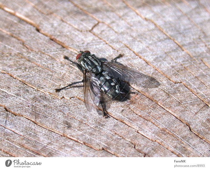 Fliege Holz Fliege Insekt
