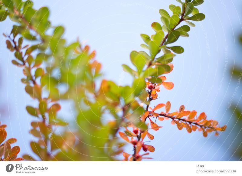 nach grün kommt... Umwelt Natur Pflanze Herbst Schönes Wetter Sträucher Berberitze Garten Park Wachstum Vergänglichkeit Wandel & Veränderung Herbstfärbung