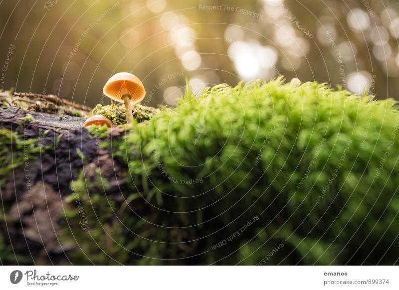 Ein Männlein steht im Walde Natur Landschaft Pflanze Sonnenlicht Herbst Klima Wetter Regen Baum Moos Grünpflanze Wildpflanze exotisch Urwald Wachstum klein nass