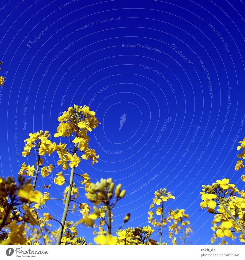 Raps oh die in blue gelb Spuren parallel Feld Biodiesel Mitte Farbe nutzfplanze Geruch strich in der Landschaft gelbe wüste blau
