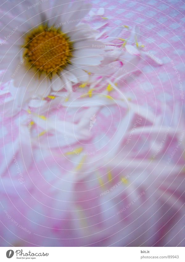 MÄDCHENBLÜMCHEN V grün weiß Blume Freude Berge u. Gebirge Frühling Wiese Gras Garten Feste & Feiern rosa 2 Park elegant genießen Romantik