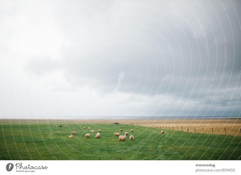 I'm in Iceland. Landschaft Wolken Horizont schlechtes Wetter Tier Nutztier Tiergruppe Herde grün Island Schafherde Weide saftig Schafweide auslaufen Viehhaltung