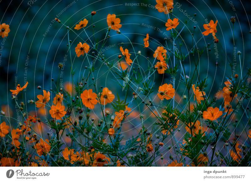 Später Sommerabend Umwelt Natur Landschaft Pflanze Blume Blüte Wildpflanze Chrysantheme Korbblütengewächs Garten Blühend Wachstum dunkel schön orange Stimmung