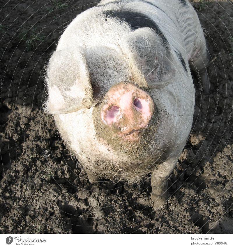 Dem Glück ins Auge schauen Tier dreckig Ohr Bauernhof Hausschwein Stall Säugetier Schwein Schnauze Sau Ferkel Sehvermögen Glücksbringer Saustall Schweinefleisch
