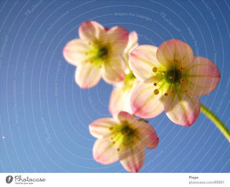 WinzigZartRosa 2007 Farbfoto Außenaufnahme Makroaufnahme Textfreiraum links Hintergrund neutral Sonnenstrahlen Freude Garten Natur Himmel Frühling Blume Blüte
