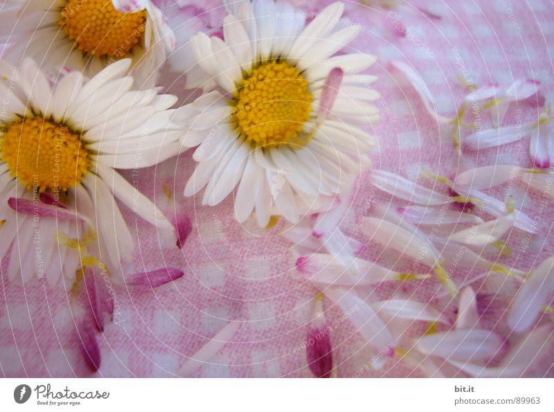 MÄDCHENBLÜMCHEN FINALE Gänseblümchen Blume Blütenblatt gepflückt