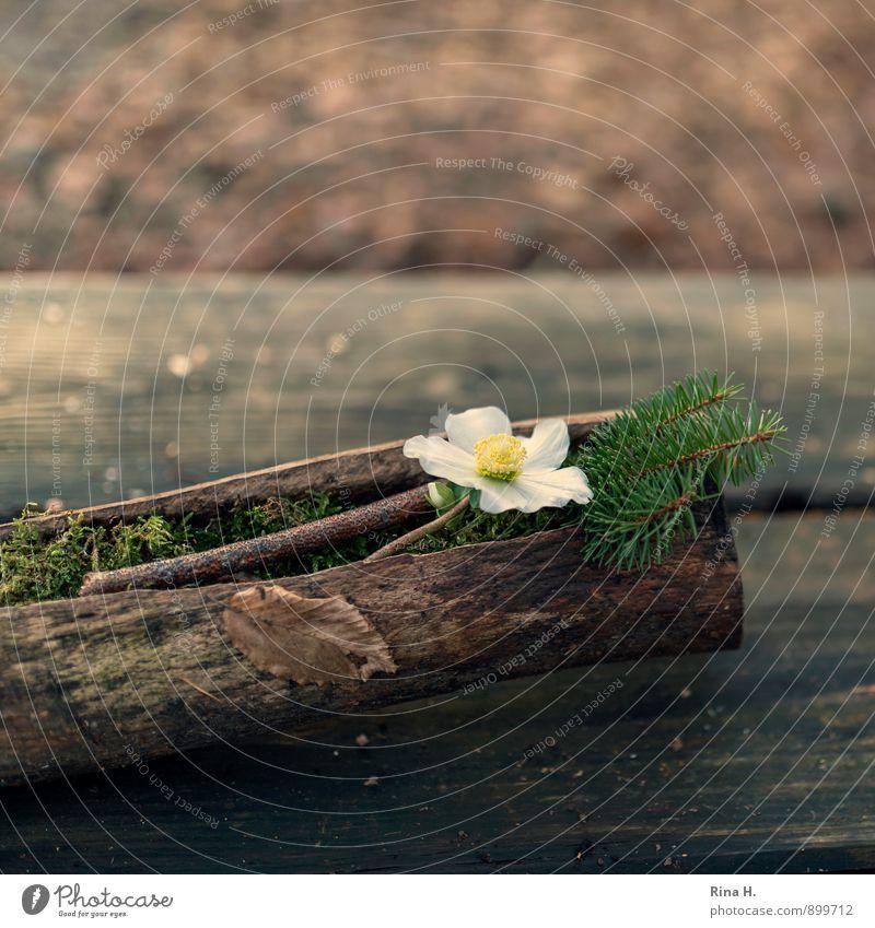 ChristRose Herbst Blume natürlich Baumstamm Christrose Tannenzweig Holztisch rustikal Quadrat Gesteck Dekoration & Verzierung Farbfoto Außenaufnahme