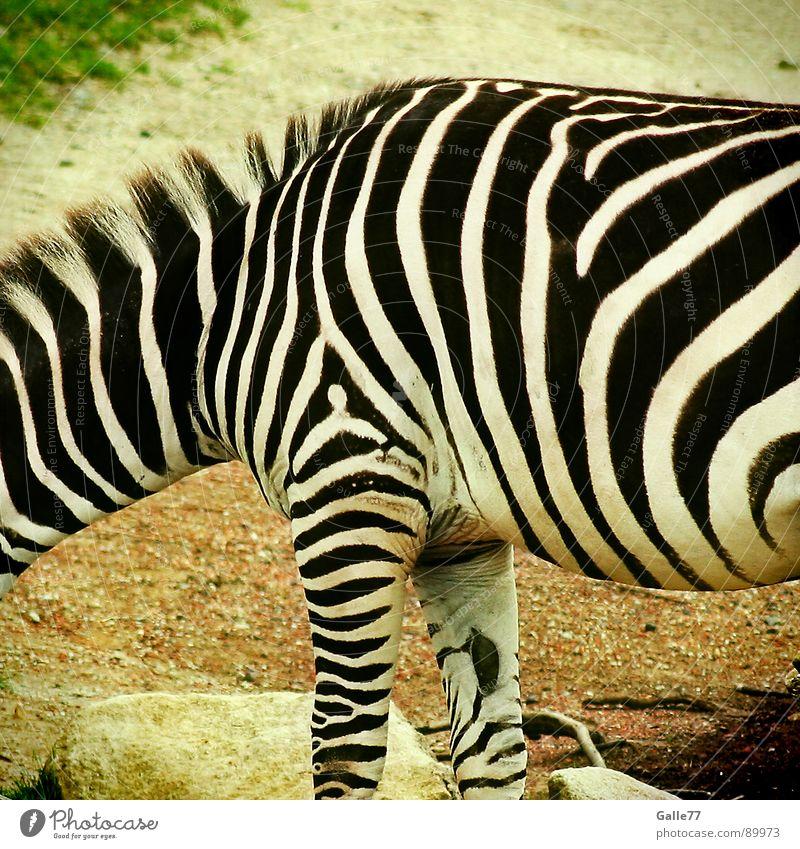 Hello Mr. Zebra weiß schwarz Tier Linie Streifen Afrika dünn Zoo Gemälde dick Säugetier vertikal Verlauf Steppe horizontal