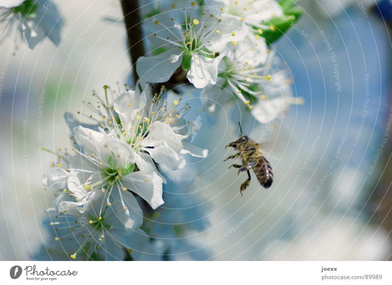 Landeanflug schön grün blau Sommer Blüte Frühling fliegen Flügel Insekt Vergänglichkeit Biene Honig Blütenblatt himmelblau Kirschblüten Laubbaum