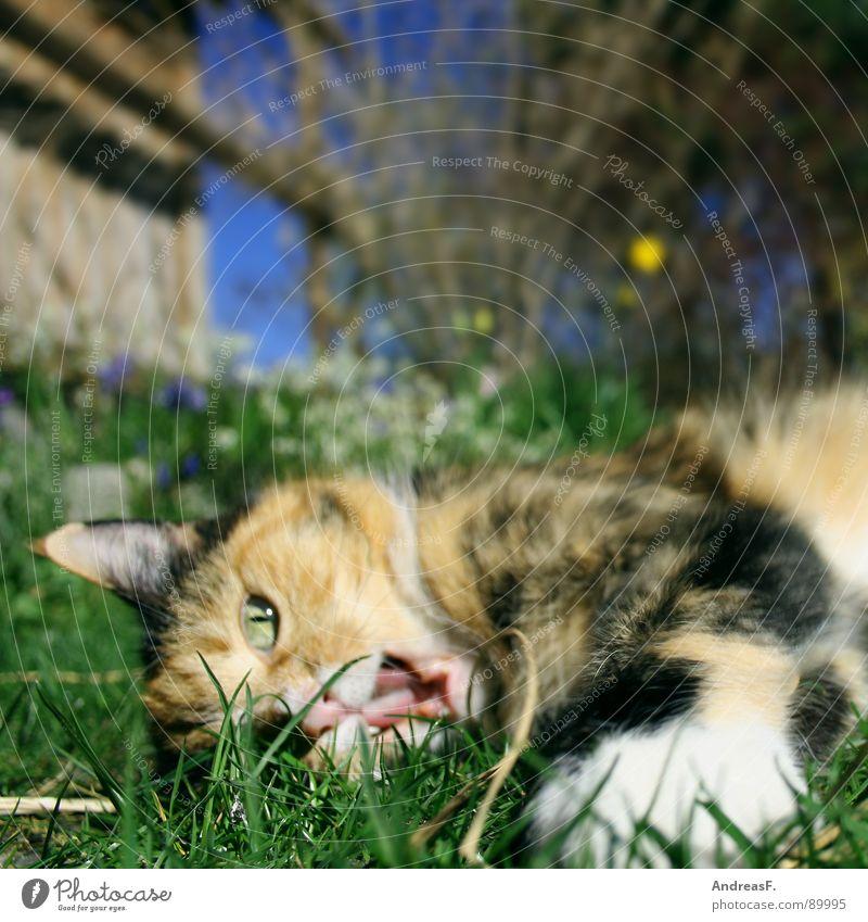 Bodenturner Sommer Freude Tier Spielen Gras Frühling Katze süß niedlich Säugetier Haustier Maul Hauskatze Frühlingsgefühle