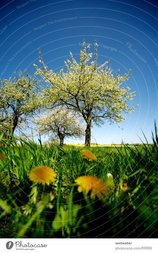 It´s spring in the fairytale world Frühling springen Baum Blüte frisch grün Blume Löwenzahn Gras Himmel Deutschland Blühend fresh dandelion flower tree sky blue