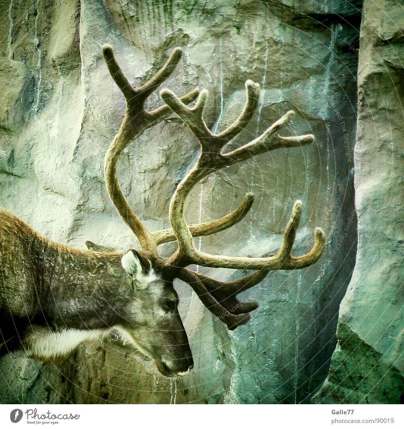 Hirsch-heiße-ich || 100 Hirsche Wiederkäuer Horn maskulin Tier Silhouette Elch Relief Säugetier fellkleid zapfenförmig Blick Profil Kraft Wildtier