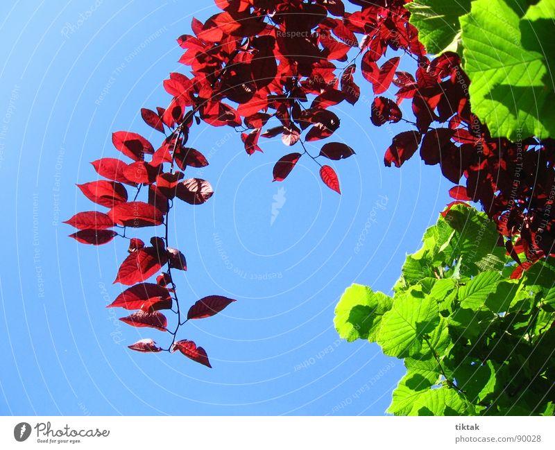 Frühling Blatt sprießen Wachstum gedeihen entfalten grün rot himmelblau Baum Sträucher frisch Leichtigkeit Neuanfang Zweig Pflanze Blauer Himmel Garten Natur