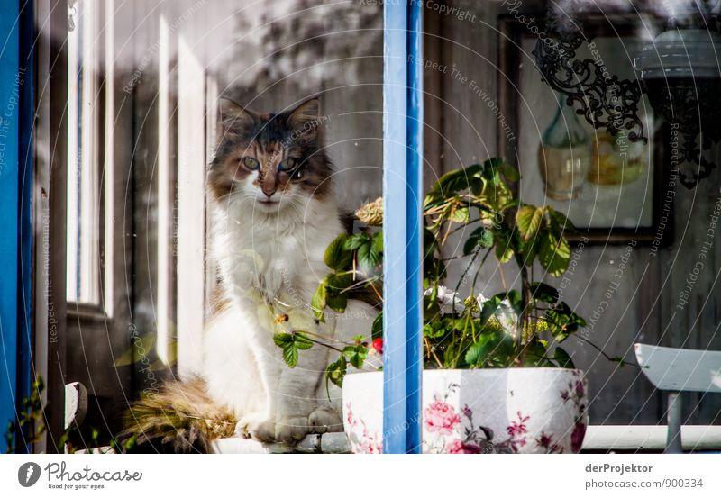 Katze am Fenster in Schweden Haus Freude Tier Umwelt Gefühle Stimmung Zufriedenheit Insel Schutz Sicherheit Vertrauen Mut Haustier Geborgenheit