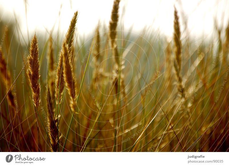Mal wieder Gras gelb Stengel Halm Ähren glänzend schön weich Rauschen Wiese zart beweglich sensibel federartig Gegenlicht Sommer Strand Küste strandhafer Sonne