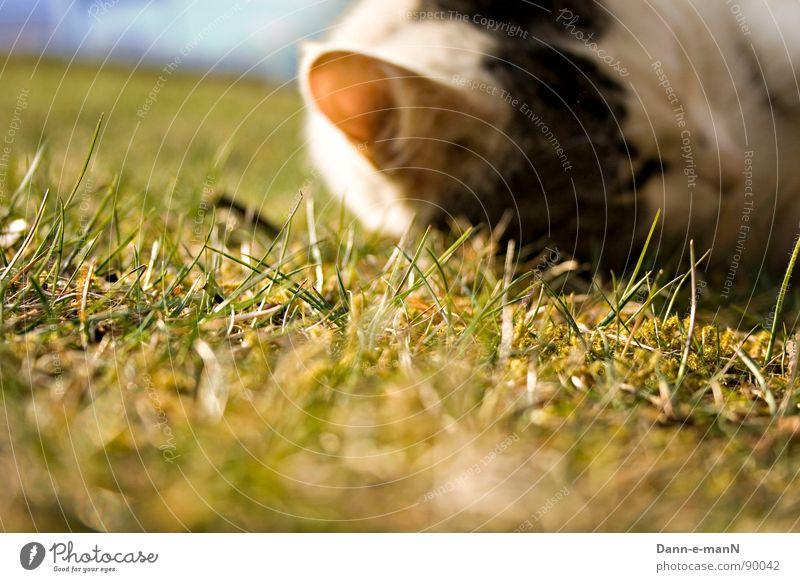 Hören wie das Gras wächst grün Sommer Wiese Frühling Katze Ohr Haustier Säugetier Hauskatze