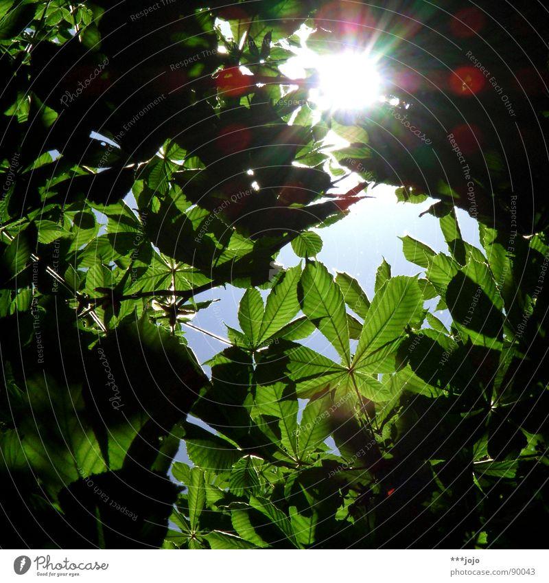 chestnut sun Baum Blatt grün Sonnenstrahlen Lichtpunkt Wald Frühling Wachstum Reifezeit Sträucher springen Photosynthese Luft Umwelt Klimawandel