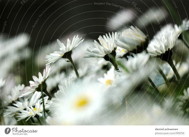 mein Gänseblümchenbeitrag Wiese Blüte Blume Gras Hintergrundbild weiß grün gelb Frühling Blumenwiese Rasen