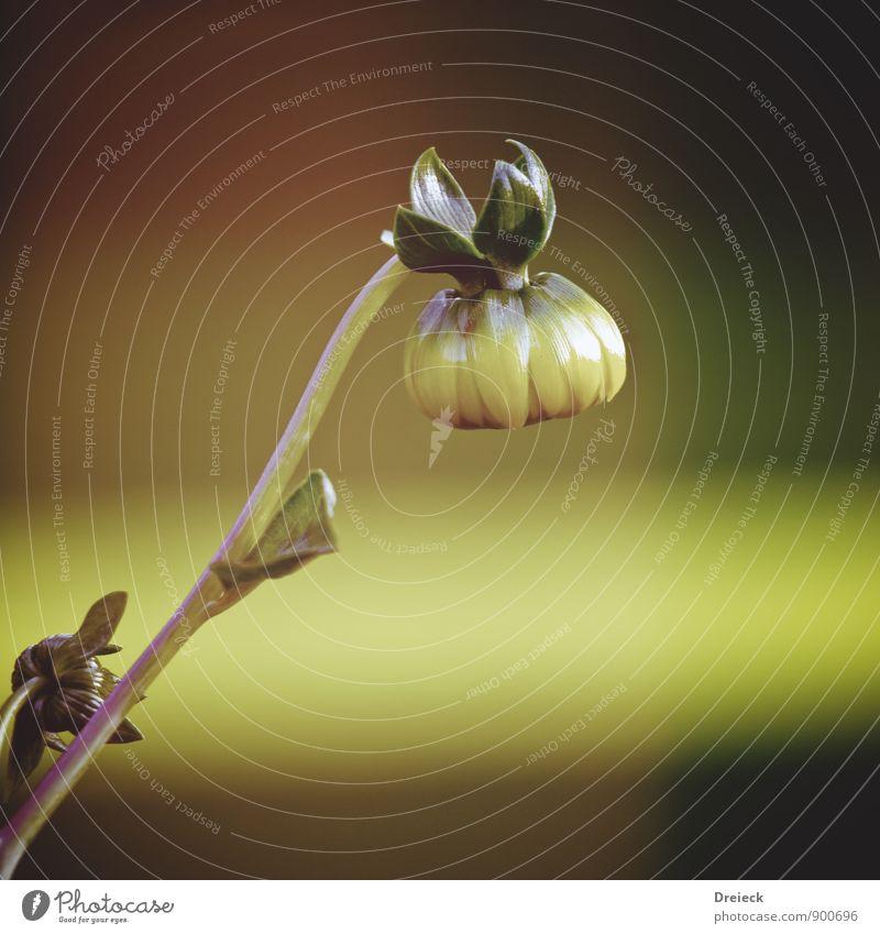 Kopfüber Umwelt Natur Pflanze Frühling Sommer Blume Blatt Blüte Grünpflanze Wildpflanze Topfpflanze Garten Park gelb gold grün Farbfoto Außenaufnahme Tag Licht