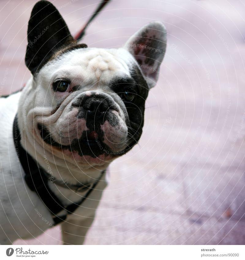 Kleiner SchweineHund an FliederGrund Tierjunges niedlich Falte Tiergesicht Säugetier hässlich Welpe Mops Haushund Hundeschnauze Vor hellem Hintergrund