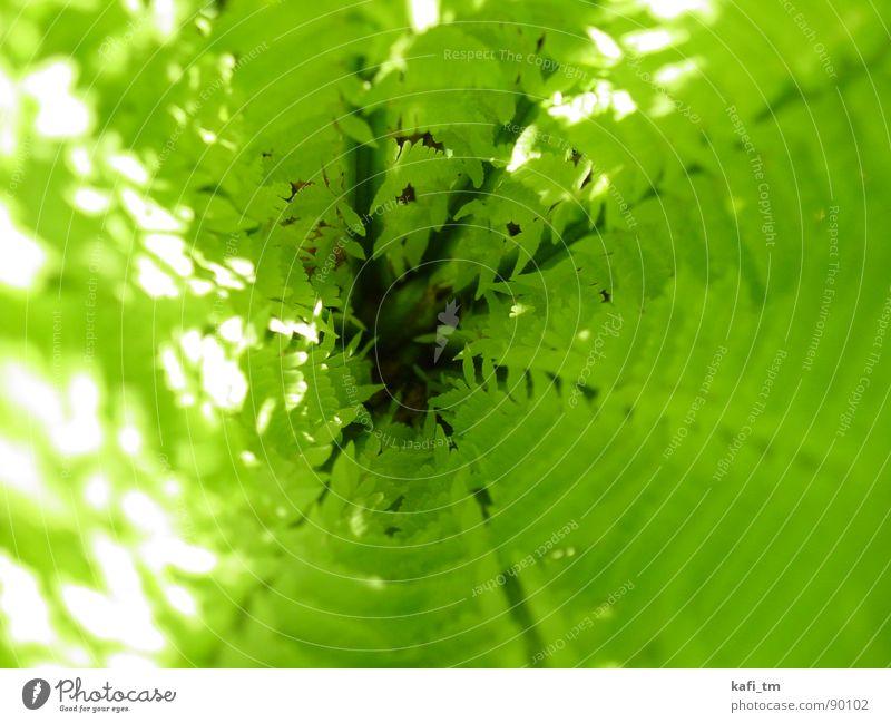 Farn grün Pflanze Frühling frisch Kreis Tunnel Echte Farne