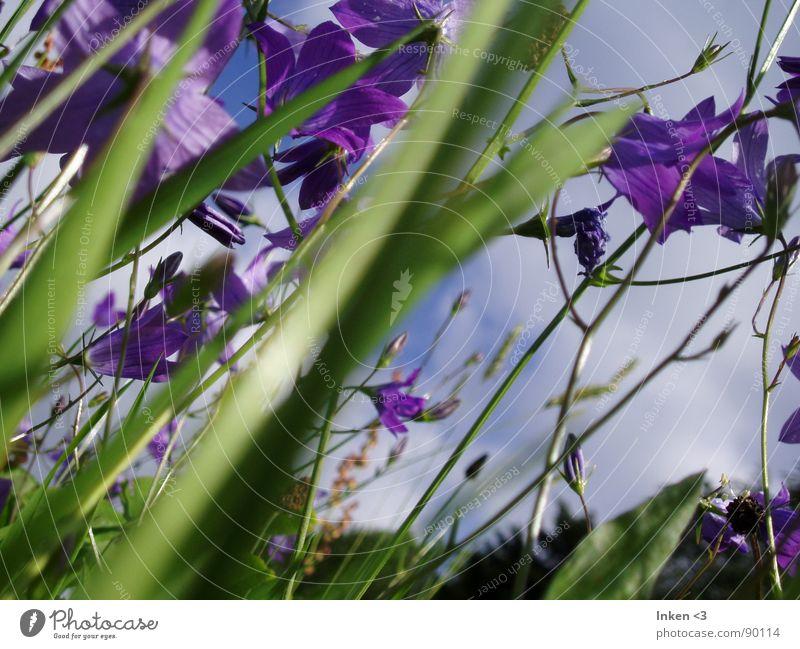 Glocken im Wind Natur Blume grün Sommer Wiese Gras Wind violett Amerika