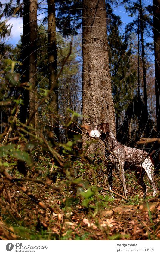 Mies Hund Wald grün braun Jagdhund herausragen Tarnung Säugetier schäbig kurzhaar Deutschland aufpasssen Nervosität Blick pointer