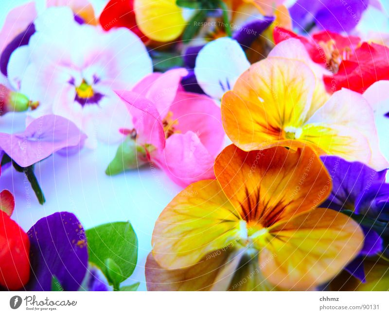 Blümchen Blume Blüte mehrfarbig Frühling Dekoration & Verzierung violett rosa Stiefmütterchen knallig Blumen. Blüte Pollen orange Stempel