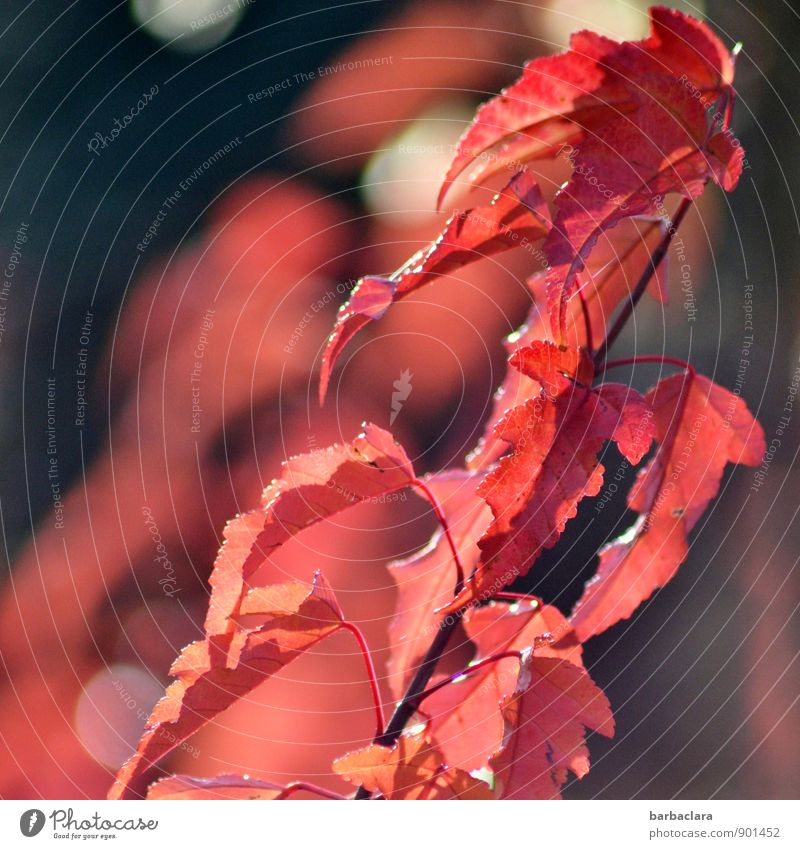 feurig in den Herbst Natur Pflanze Farbe rot Blatt Umwelt Garten Park Kraft leuchten Sträucher Lebensfreude Wandel & Veränderung Sinnesorgane Lichtpunkt