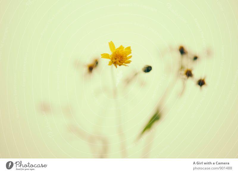 it had to be you Umwelt Natur Pflanze Herbst Blume Blühend Freundlichkeit Fröhlichkeit klein niedlich Wärme gelb angenehm Gedeckte Farben Außenaufnahme