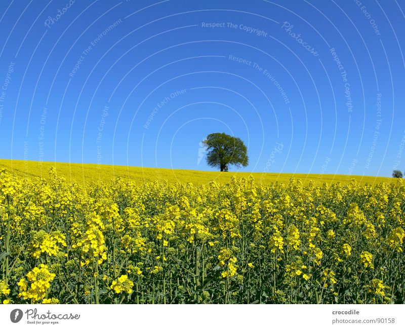 raps #11 Himmel Baum Einsamkeit gelb Frühling Feld Horizont Streifen Stengel Blühend Landwirtschaft Baumstamm Schönes Wetter ökologisch Bioprodukte Produktion