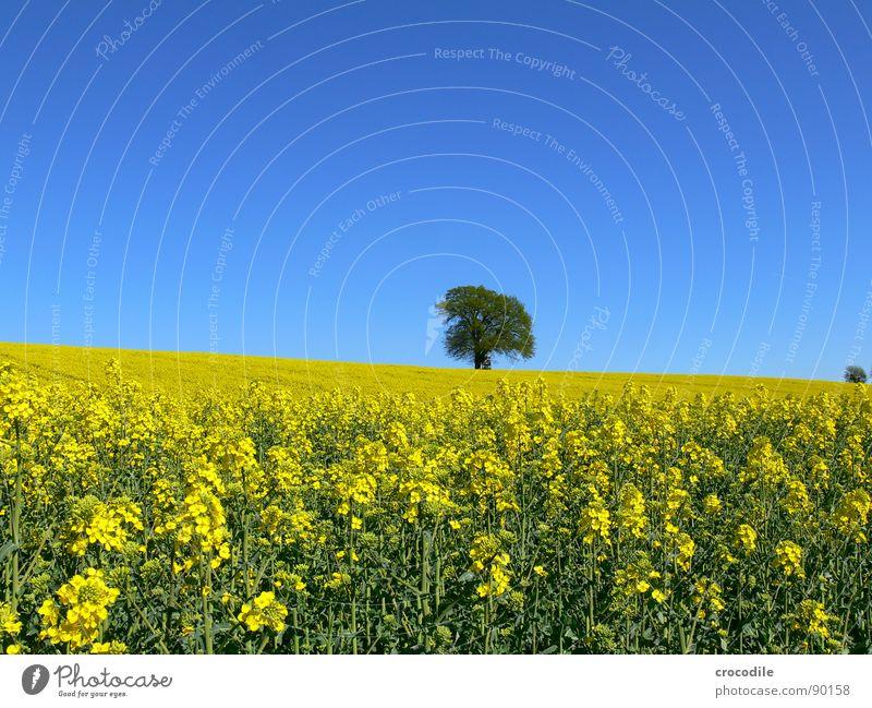 raps #11 Raps Feld Frühling ökologisch Diesel Kohlendioxid Klimawandel gelb Streifen Stengel Sauerstoff Blattgrün Baum Einsamkeit Horizont Bioprodukte Blühend