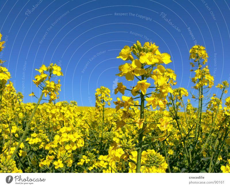 raps #12 Himmel gelb Frühling Feld Streifen Stengel Blühend Landwirtschaft Schönes Wetter ökologisch Bioprodukte Produktion Raps Klimawandel Traktor