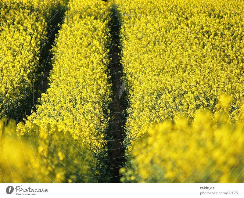 Mit Vollgas durchs Rapsfeld gelb Feld Spuren Mitte aufwärts Geruch abwärts parallel Traktor Biodiesel