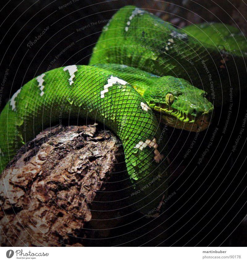 so ein schlingel weiß grün Angst Haut schlafen gefährlich Reptil Panik Scheune Gift Schlange gestellt scheckig Schlaufe Terrarium Windung