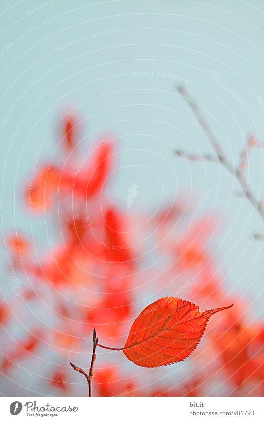 halbherziges Herzblatt Natur Himmel Wolkenloser Himmel Herbst Pflanze Garten Wald blau orange rot herbstlich Herbstlaub Indian Summer Herbstfärbung Herbstbeginn